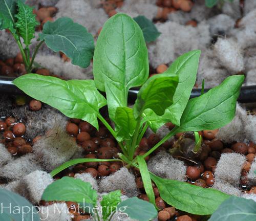 Hydroponic spinach