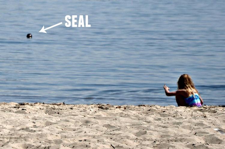 Seal in the water in Santa Barbara, CA