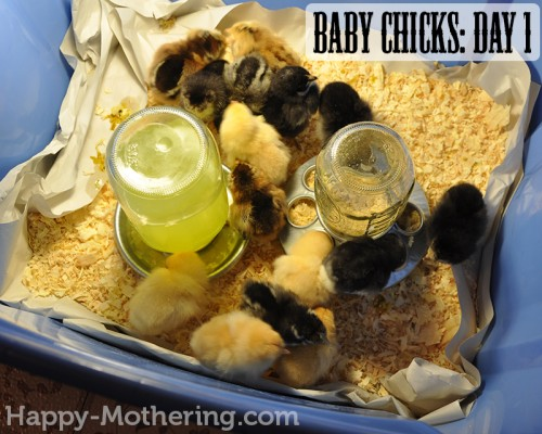 Our baby chicks on day 1