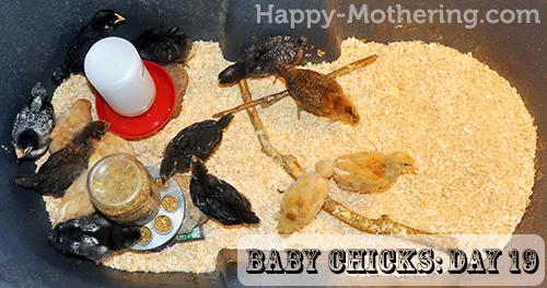 Baby chicks on Day 10