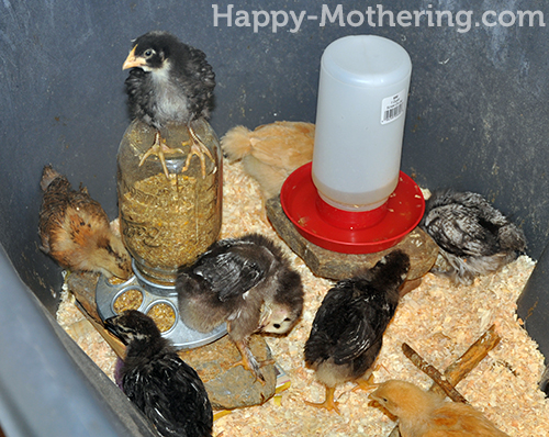 Chick standing on the feeder