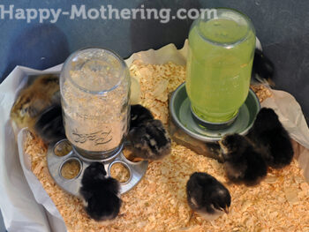 Baby chicks eating and drinking