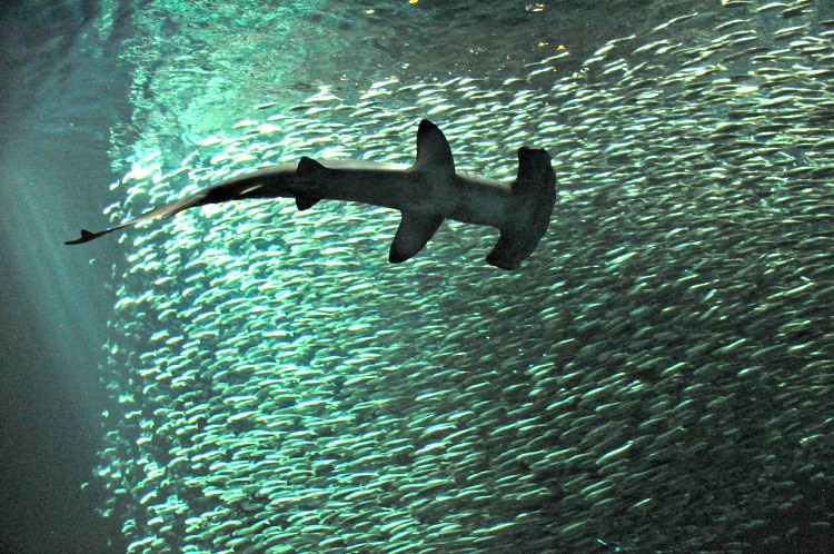 Hammerhead shark at the Monterey Bay Aquarium