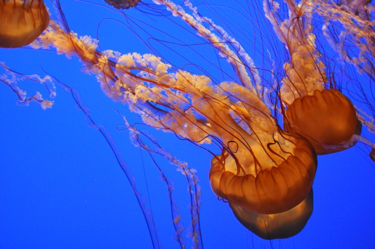 Close up shot of a jellyfish at the Monterey Bay Aquarium