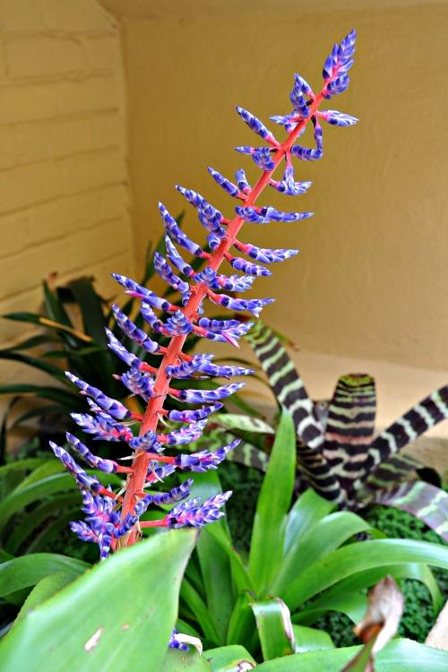 Purple flowers at the Pantai Inn in La Jolla, CA